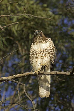 Hawk at tree top perch