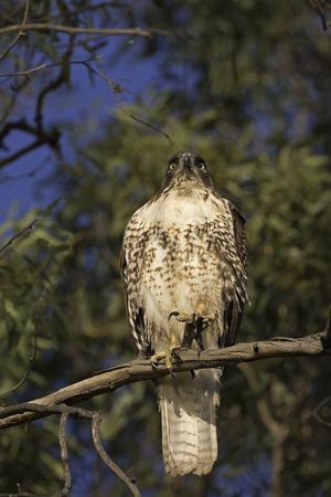 eagle falls: Hawk bird of prey at tree top perch