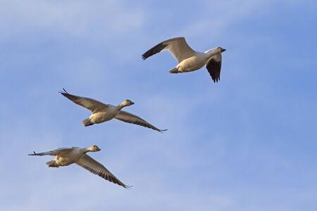 Birds snow geese flock flying at California desert 版權商用圖片