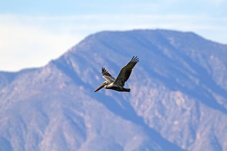 Bird large brown pelican flying at the desert