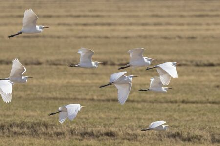 Birds flock of cattle egret flying at Salton Sea field Stock Photo