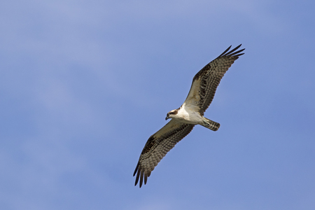 Bird osprey hunting high above the Los Angeles River