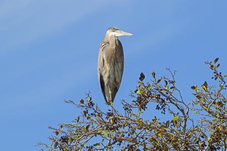 Bird heron at tree limb perch at Los Angeles River