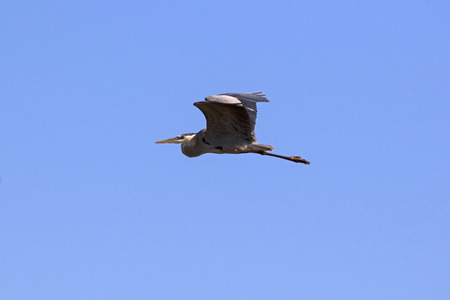 migrate: Bird heron flying at the Salton Sea in the California desert Stock Photo