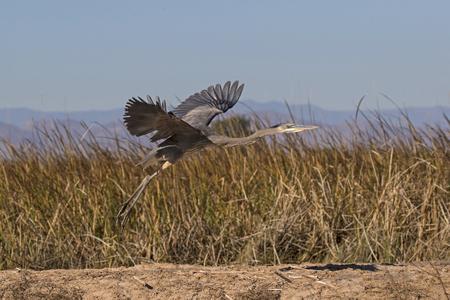 Bird blue heron flying at the Salton Sea in the California desert