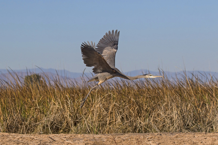 Bird heron flying at the Salton Sea in the California desert Stock Photo