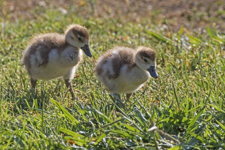Birds young ducklings at shore of park lake in Los Angeles Stock Photo