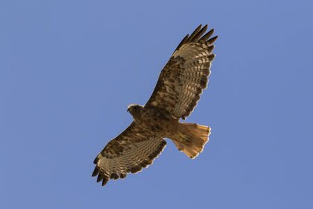 Bird red tail hawk flying above Los Angeles park