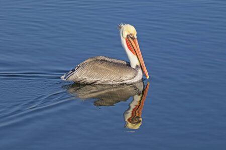 Bird brown pelican swimming at wetlands shore 版權商用圖片