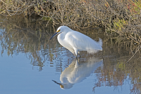 Bird snowy egret at wetlands shore