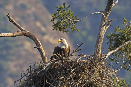 Eagle in tree top nest