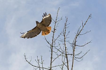 Hawk launch from tree limb perch