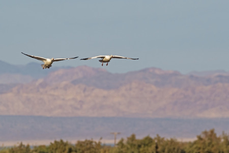 Birds snow geese landing at the Salton Sea