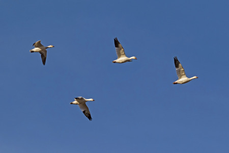 Birds snow geese flying together above the Salton Sea