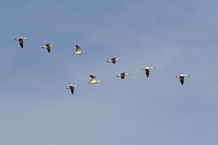 Birds flock of snow geese flying in formation