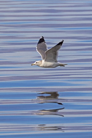 Seagull flying above the Salton Sea water