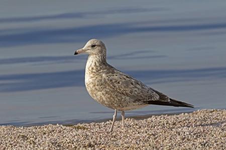Bird sea gull on the shore of the Salton Sea