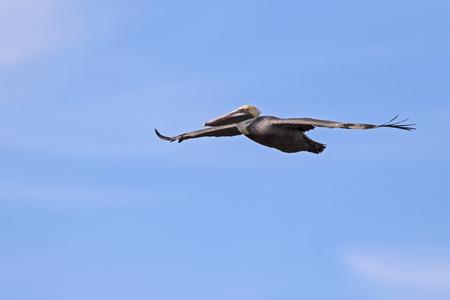 Bird brown pelican soars above the Salton Sea