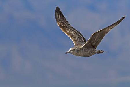 Bird sea gull flying above the Salton Sea Stock Photo