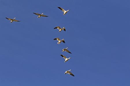 Birds snow geese flock migrate above the Salton Sea