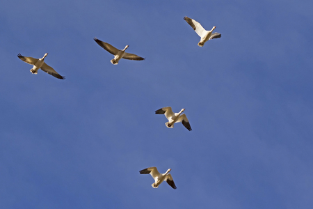 Birds snow geese flying above the Salton Sea 版權商用圖片