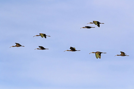 Birds white face ibis shore birds flock flying above the desert 版權商用圖片