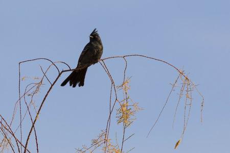 Desert black bird at Salton Sea