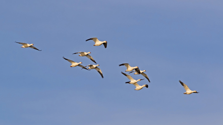 Birds snow geese flying in formation