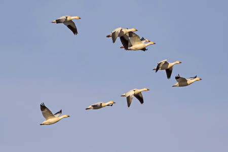 Birds flock of snow geese Stock Photo - 94715161