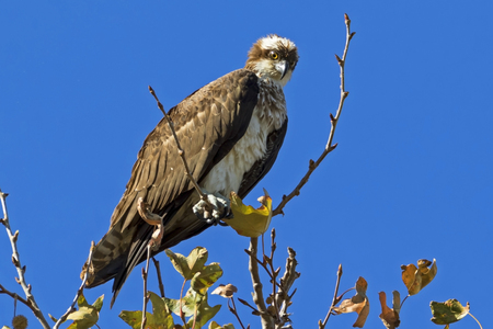 Bird watching osprey hunting from high above Stock Photo