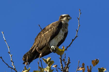 Bird osprey at tree perch Stock Photo