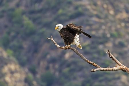 Eagle ruffles feathers on tree limb perch