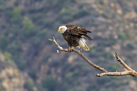 Eagle overlooking foothill valley