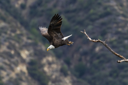Eagle take-off from tree limb perch