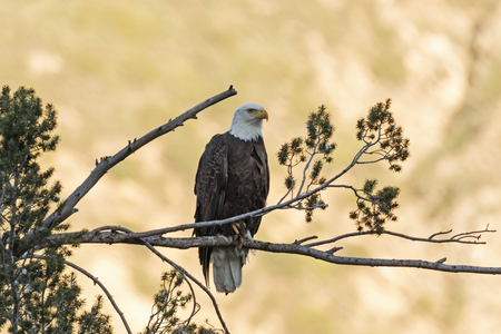 Eagle perched at sunset overlooking the Los Angeles foothills