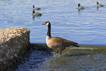 Birds Canadian goose and coots at Lake Balboa in Los Angeles Stock Photo