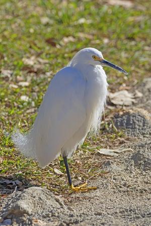 Bird snowy egret along the shores of Lake Balboa