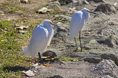 Birds snowy egret pair at the shores of Lake Balboa