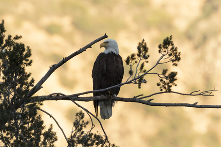 Eagle at sunset overlooking Los Angeles foothills Stock Photo