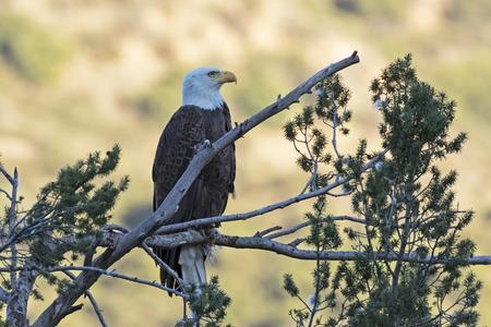 Bald eagle overlooking Los Angeles valley