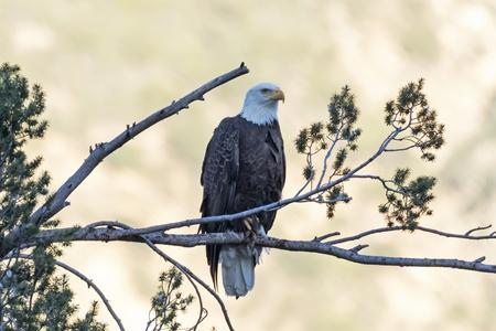 Eagle at dusk in Los Angeles foothills