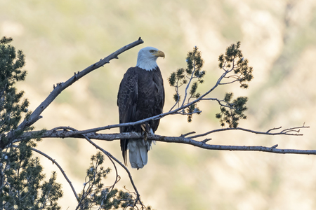 Eagle on tree limb perch overlooking Los Angeles valley