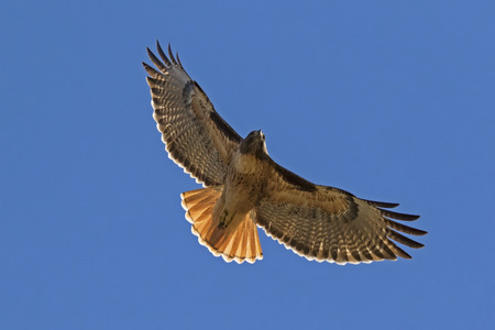 Hawk flying with full wingspan Stock Photo