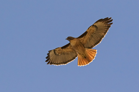 Red tail hawk in the sky