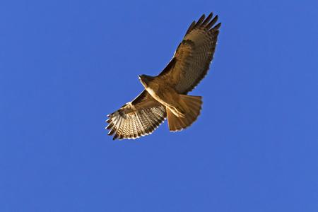Hawk flying into the sun Stock Photo