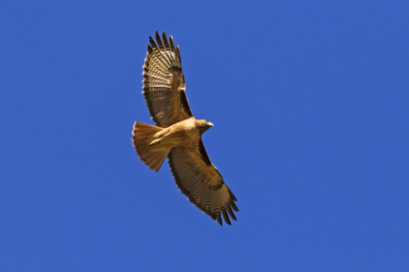 Hawk flying high above Los Angeles