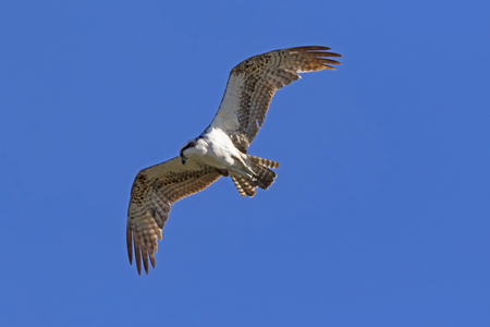 Bird osprey on the hunt Stock Photo