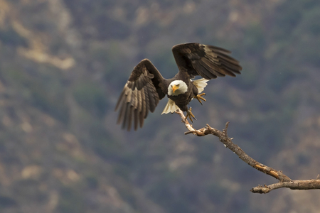 Eagle launching off tree branch Stockfoto