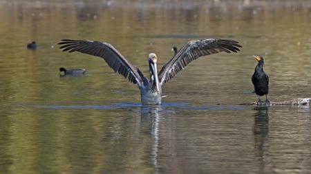Pelican and cormorant at Malibu Lagoon