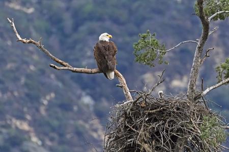Bald eagle at perch